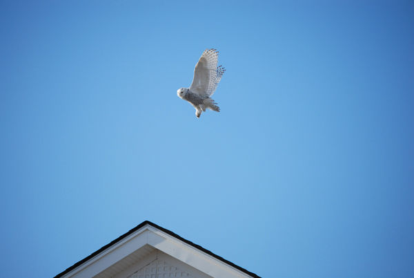 "<div class=""meta image-caption""><div class=""origin-logo origin-image ""><span></span></div><span class=""caption-text"">A snowy owl is seen flying over Strathmere, Cape May County in photos taken by Action News viewer Bill Tierney. (Photo/Bill Tierney)</span></div>"