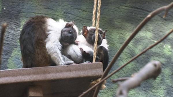 Baby primates debut at Philadelphia Zoo
