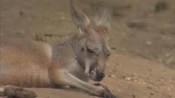 Joey the Red Kangaroo