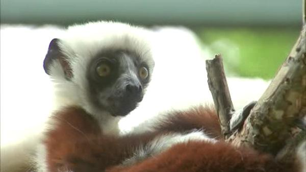Polamalu the Sifaka