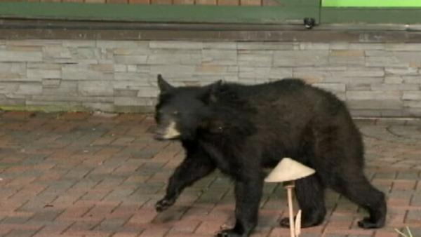 Bears invade LIVE Pa. newscast