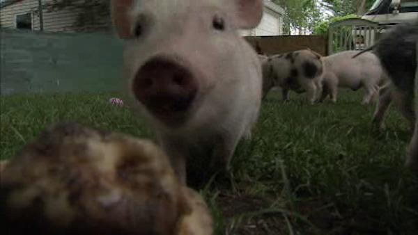 Neighbors say too many pigs in yard