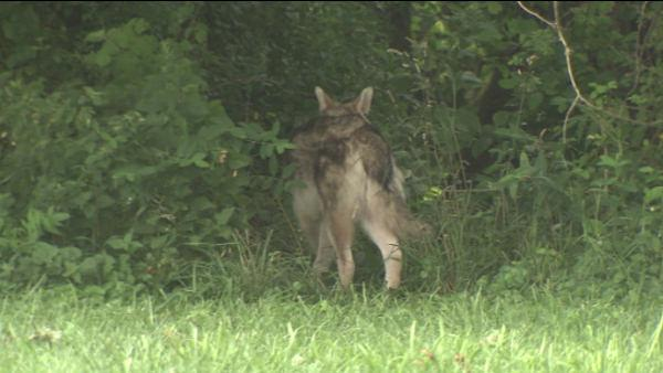 Wolf-dog in Pennypack Park in Northeast Philadelphia