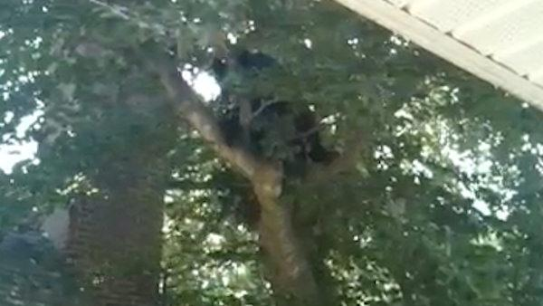 Bear spotted up a tree in Vineland