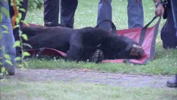 Bear spotted in Vineland, safely caught