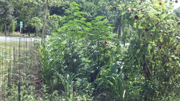 Marijuana plants found in Delaware