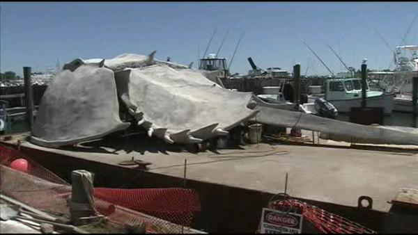Giant horsehoe crab makes a splash at Jersey Shore