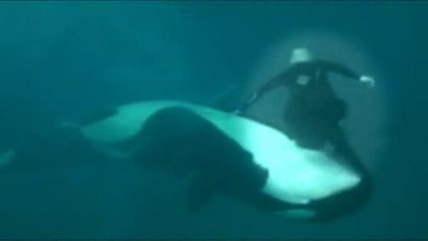 Killer whale drags trainer below water