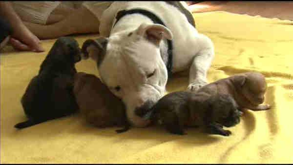NJ pit bull becomes surrogate mom for puppies