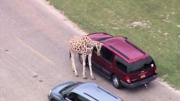 Six Flags to end drive-thru safari