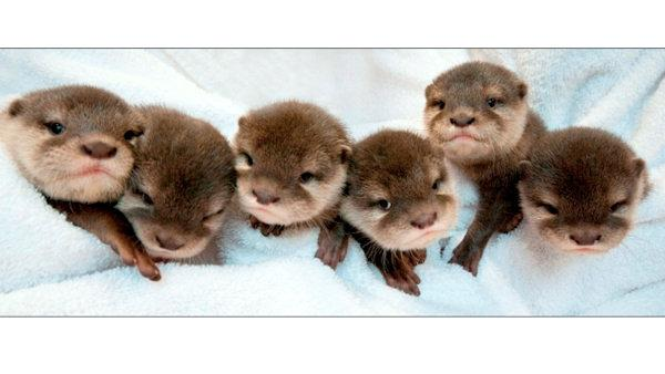Otter pups arrive at Six Flags