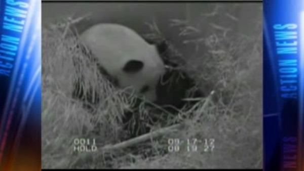 Reason for death of baby panda