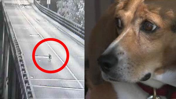 Beagle survives jump from bridge