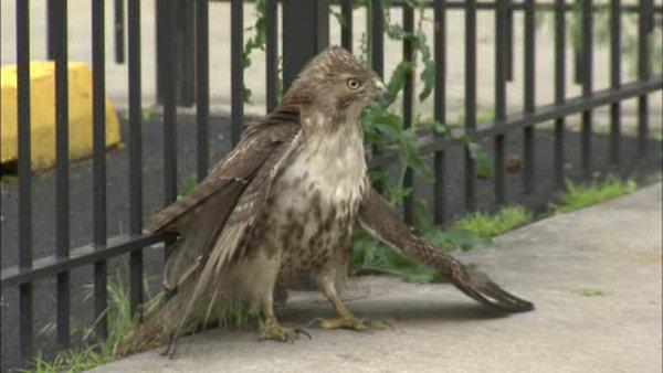 Injured hawk