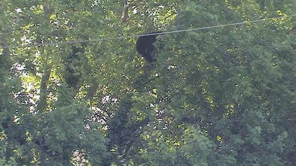Bear spotted sitting in tree in Delran