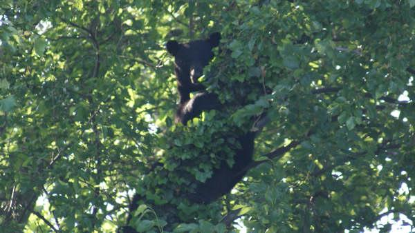 Bear spotted sitting in tree in Delran, NJ