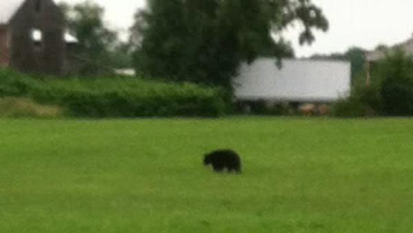 Local bear sightings