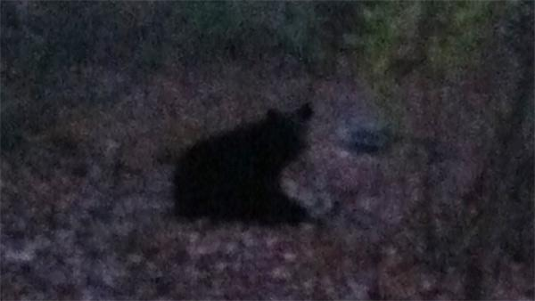 Bear sighting in Solebury Township