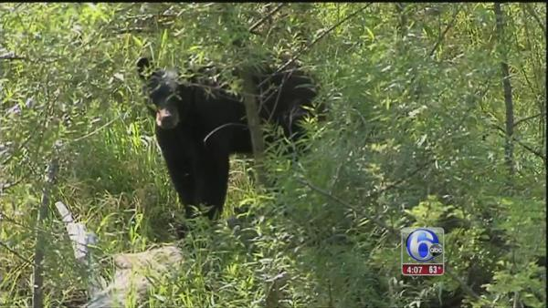 Bear hunt in Solebury Township