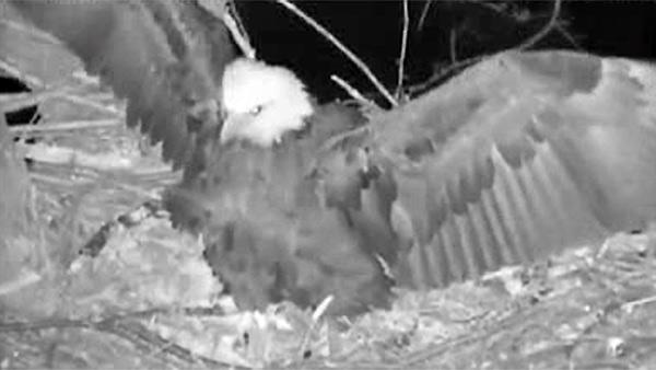 Eagle defends her nest from furry invader