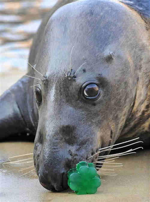 This photo provided by the Chicago Zoological Society shows Boone, an 8-year-old grey seal at the Brookfield Zoo, getting a St. Patrick's Day treat, a gelatin shamrock, Friday, March 16, 2012 in Brookfield, Ill. (AP Photo/Chicago Zoological Society, Jim Schulz)