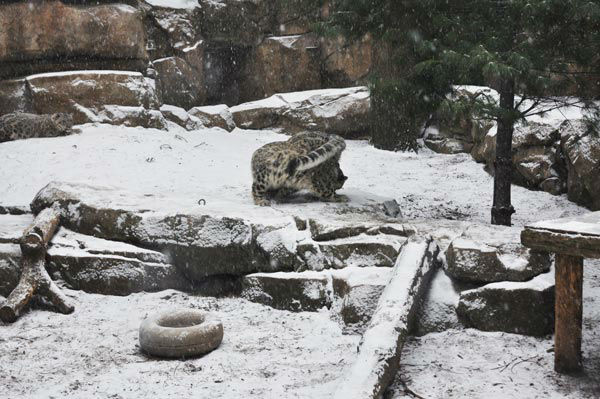 Animals at the Philadelphia Zoo did not let the snowstorm stop them from having some fun outside on Tuesday, January 21, 2014. <span class=meta>(Photo&#47;Philadelphia Zoo)</span>