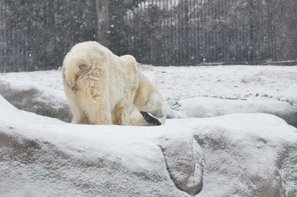 "<div class=""meta ""><span class=""caption-text "">Animals at the Philadelphia Zoo did not let the snowstorm stop them from having some fun outside on Tuesday, January 21, 2014. (Photo/Philadelphia Zoo)</span></div>"