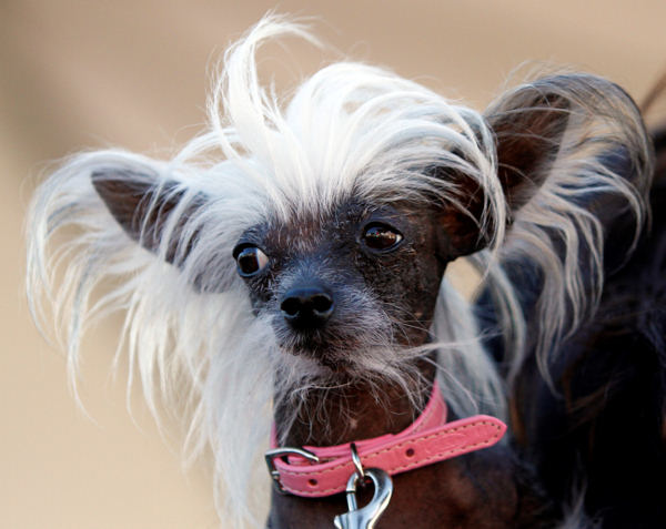 &#34;Piggy&#34; the Chinese Crested is seen during the World&#39;s Ugliest  Dog Contest Friday, June 25, 2010, in Petaluma, Calif. &#40;AP Photo&#47;Ben Margot&#41; <span class=meta>(AP Photo&#47;Ben Margot)</span>