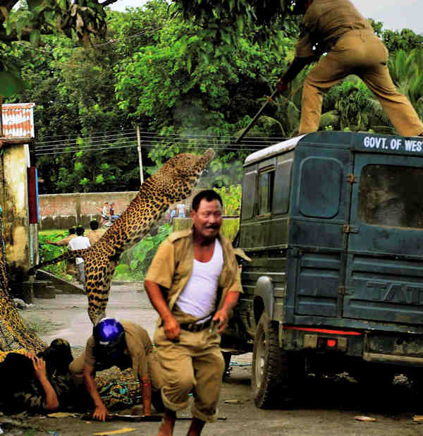 In this photo taken Tuesday, July 19, 2011, a leopard attacks a forest guard as another runs for cover at Prakash Nagar village near Salugara, on the outskirts of Siliguri, India. The leopard strayed into the village area and attacked several villagers, including at least four guards, before being caught by forest officials, according to news reports. The leopard, which suffered injuries caused by knives and batons, died later in the evening at a veterinary center.  <span class=meta>(AP Photo)</span>
