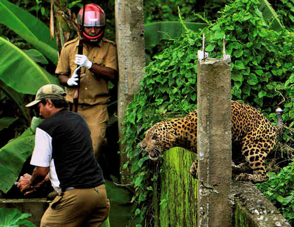 In this July 19, 2011 photo, a leopard prepares to attack a forest guard, left, at Prakash Nagar village near Salugara, on the outskirts of Siliguri, India. The leopard strayed into the village area and attacked several villagers, including at least four guards, before being caught by forest officials, according to news reports. The leopard, which suffered injuries caused by knives and batons, died later in the evening at a veterinary center.  <span class=meta>(AP Photo)</span>