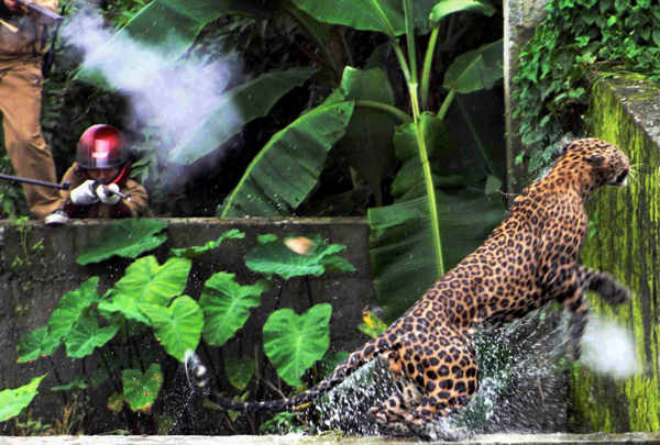 In this July 19, 2011 photo, a leopard runs to escape after attacking a forest guard at Prakash Nagar village near Salugara, on the outskirts of Siliguri, India. The leopard strayed into the village area and attacked several villagers, including at least four guards, before being caught by forest officials, according to news reports. The leopard, which suffered injuries caused by knives and batons, died later in the evening at a veterinary center.  <span class=meta>(AP Photo)</span>