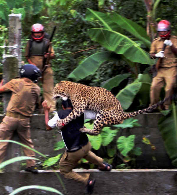In this July 19, 2011 photo, a leopard attacks a forest guard at Prakash Nagar village near Salugara, on the outskirts of Siliguri, India. The leopard strayed into the village area and attacked several villagers, including at least four guards, before being caught by forest officials, according to news reports. The leopard, which suffered injuries caused by knives and batons, died later in the evening at a veterinary center. The forest guard being attacked was injured.  <span class=meta>(AP Photo)</span>