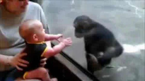 Chimp befriends baby