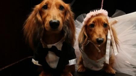 Dachshunds dressed for the occasion, Clifford, left, and his cousin Dee Dee, wait to take part in the most expensive wedding for pets Thursday July 12, 2012 in New York. The black-tie fundraiser, where two dogs were married, was held to benefit the Humane Society of New York. (AP Photo/Tina Fineberg)