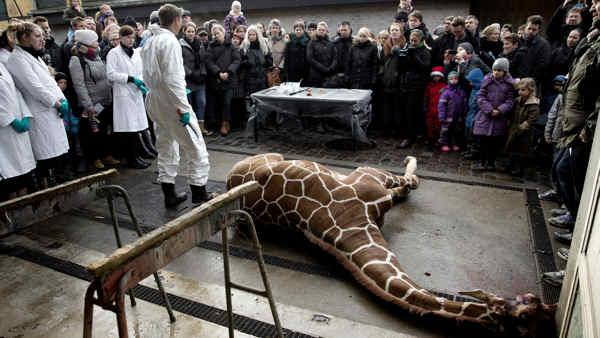 Zookeepers get death threats after giraffe slaying