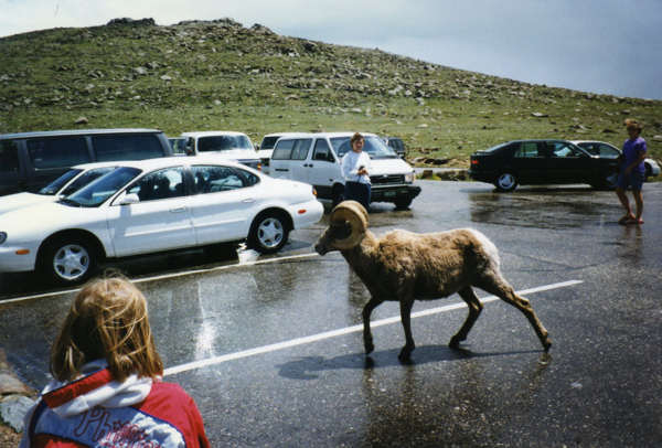 My daughter gets a close-up look at a ram in Rocky Mountain National Park.  The animals are at home here, even in one of the few spots where there are roads.