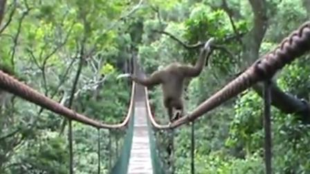 Trending Monkey Walks Tightrope on Bridge