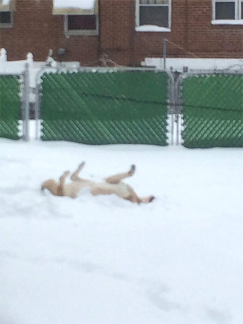 "<div class=""meta ""><span class=""caption-text "">My husky/Shepard mix Riley making doggie snow-angels in Lawndale. #6abcsnow (@SueBee303)</span></div>"