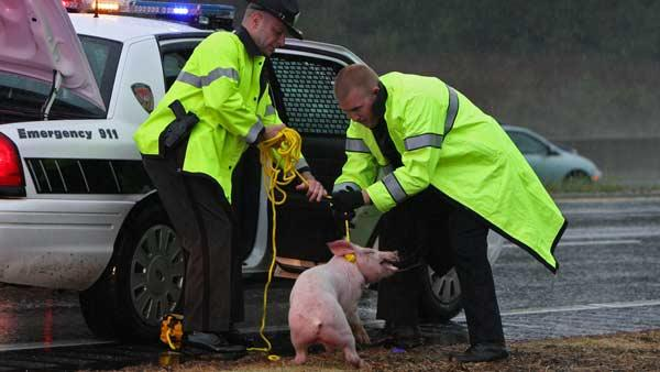 911 call: Pigs on interstate