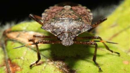 In this Thursday, April 14, 2011, shown is a brown marmorated stink bug at a Penn State research station in Biglerville, Pa. The relatively new pest originally from Asia is threatening to wreak havoc on mid-Atlantic orchards. (AP Photo/Matt Rourke)