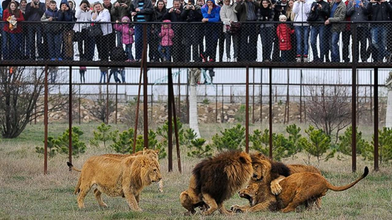Visitors watch lions playing in the Taigan Safari Park, about 50 km (31 miles) east of Simferopol, Crimea, Saturday, April 12, 2014.  (Alexander Polegenko/AP Photo)
