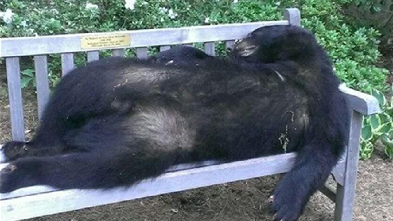 Dead bear NC State brickyard