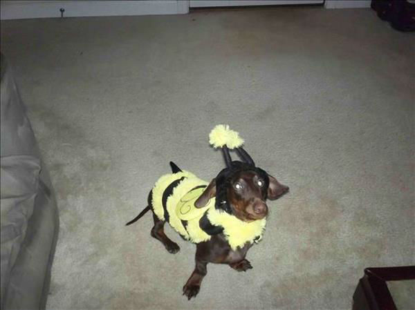 "<div class=""meta ""><span class=""caption-text "">ABC11 viewers sent in pictures of their pets dressed in Halloween costumes (Photo/iWitness Photos)</span></div>"