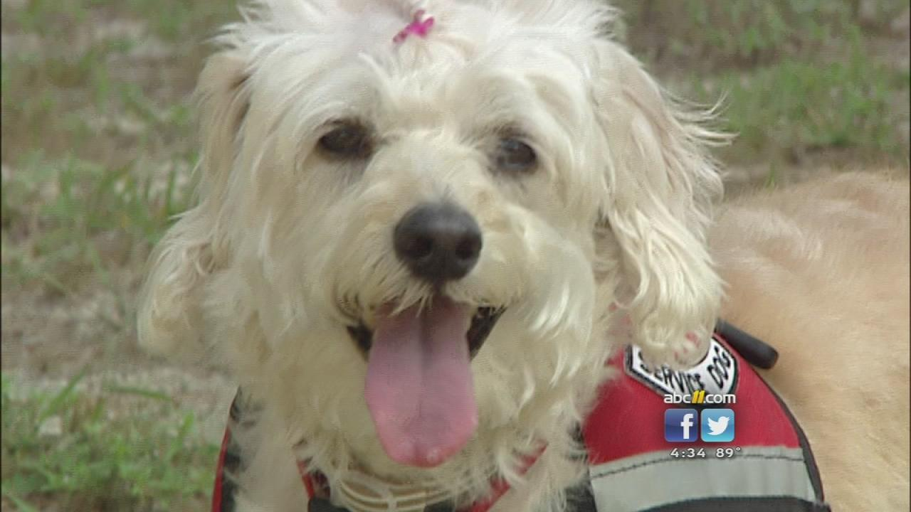 Lacy the Jack Russell Terrier/Poodle mix is Stowes service dog