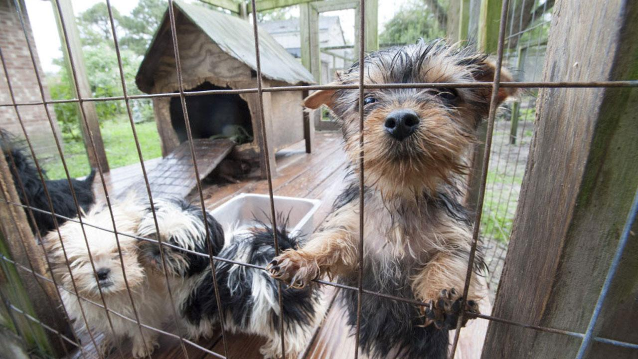 Nearly 80 animals were rescued from a puppy mill in Pender County, North Carolina Wednesday by the Humane Society of the United States and other officials.