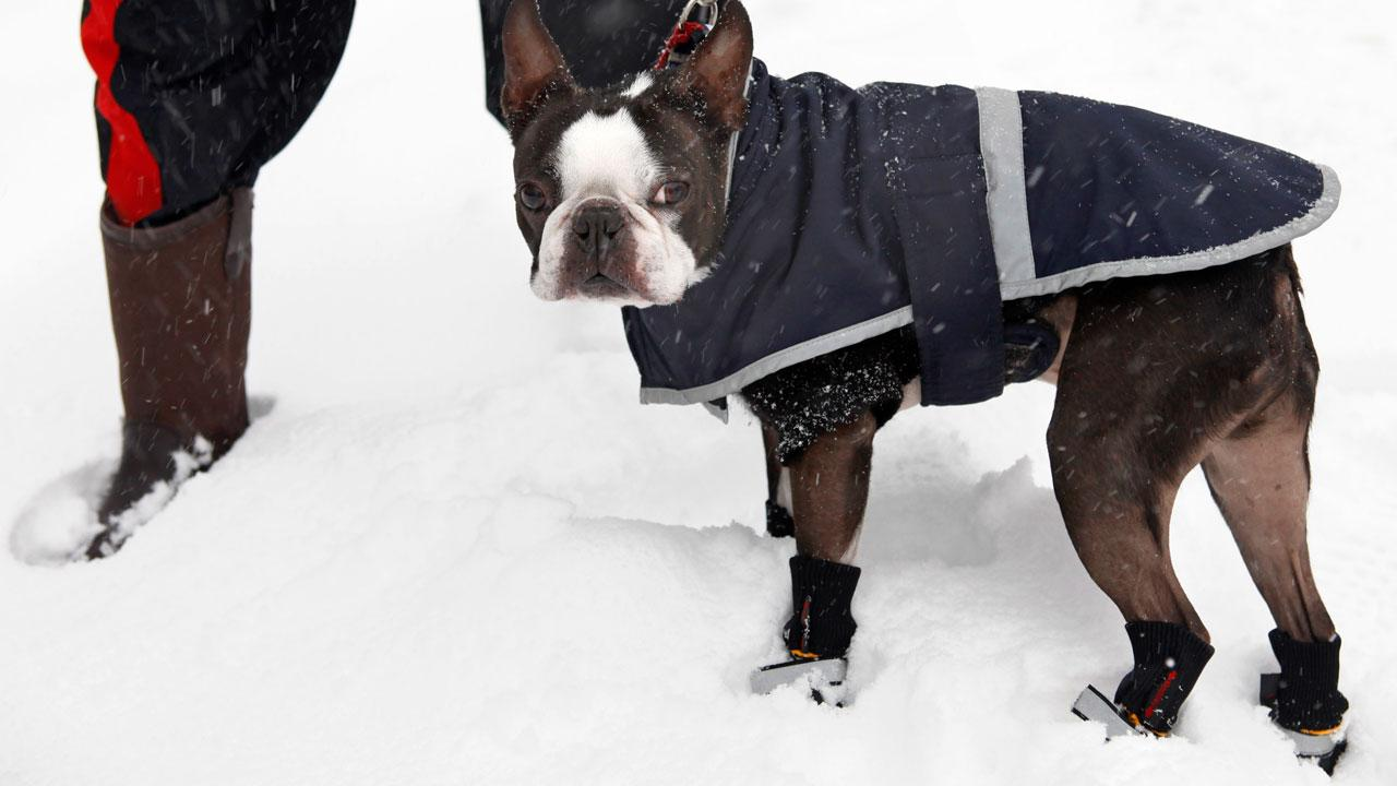 With no more snow, comes no more dog booties. Dogs are starting to sweat in their little outfits!AP Photo/Jacquelyn Martin