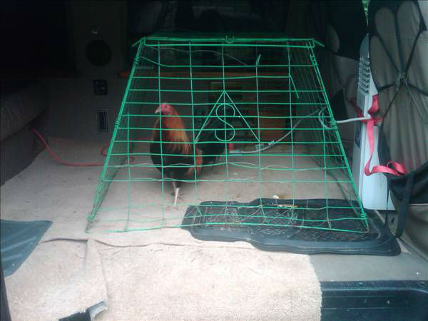 Twelve people were arrested, and officials seized 63 roosters, &#36;23,000 in cash, and one gun during the investigation.  <span class=meta>(WTVD Photo)</span>
