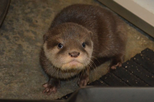"<div class=""meta ""><span class=""caption-text "">The newest additions to the Greensboro Science Center otter exhibit have names. As the five pups, three females and two males, were born on Veteran's Day, the Center thought it only appropriate they have names with a patriotic meaning. After an online vote, the three females are named Molly, Abigail, and Eleanor. The two males are named Theodore and Quincy. Learn more at:  www.greensboroscience.org (Greensboro Science Center Photo)</span></div>"