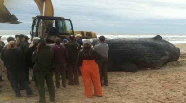 "<div class=""meta ""><span class=""caption-text "">A 33 and a half foot sperm whale washed up on the beach in Hatteras Village Tuesday. Experts estimated it was 75 years old when it died. A necropsy could not determine a cause of death. The animal was buried. (Graveyard of the Atlantic Museum Photo/ Bill Francis)</span></div>"