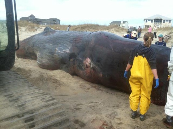 A 33 and a half foot sperm whale washed up on the beach in Hatteras Village Tuesday. Experts estimated it was 75 years old when it died. A necropsy could not determine a cause of death. The animal was buried. <span class=meta>(Graveyard of the Atlantic Museum Photo&#47; Bill Francis)</span>